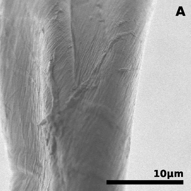cotton-fibers-before-nitration-(A)
